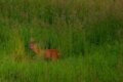 Die Jagd auf Rehwild zur Blattzeit
