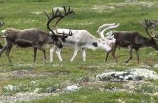 Rentier bei der Jagd in Norwegen