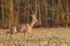 Die Bockjagd steht vor der Tür! Jetzt Jagdgelegenheiten, Jagdreviere und Einzelabschüsse für die Bockjagd 2013 sichern