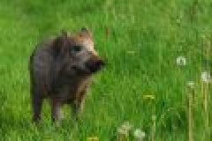 Sauenjagd im Mai – Ansitz auf Schwarzwild