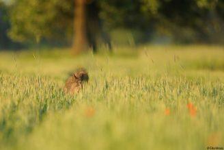 Wildschwein im Feld