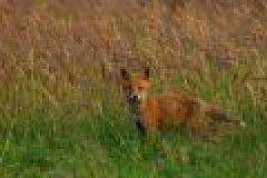 Tipps zur Jagd auf Jungfüchse