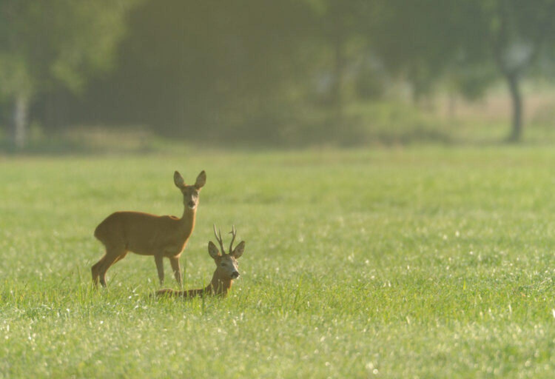 Das Jagdrevier im Juli – Die Vorbereitung der Blattzeit
