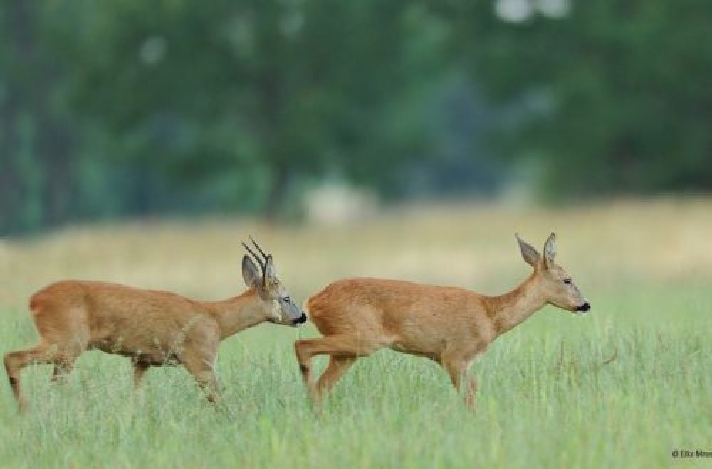 Auf Blattjagd – Diese Locklaute bringen den Jagderfolg