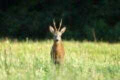 Die Jagd im August – Blattjagd, Feisthirsche und Graugänse
