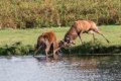 Die Brunft ist da – Hirschkämpfe und Röhren