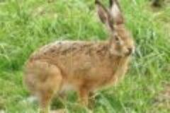 Fragen aus der Jägerprüfung zu Hasen und Kaninchen