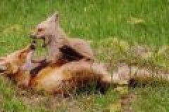 Die Baujagd auf den Fuchs – was gibt es zu beachten?