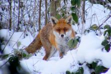 fuchs-im-schnee