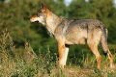 Der Wolf zurück in Deutschland – Segen oder Fluch?