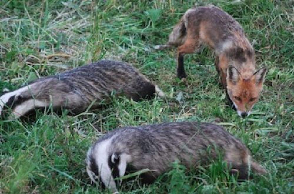 Fragen aus der Jägerprüfung zu Dachs und Fuchs