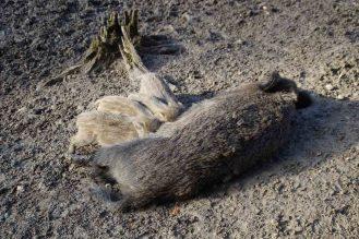 frischlinge-bache-wildschwein