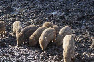 frischlinge-wildschwein