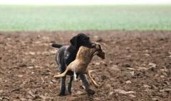 hund-jagd-hase