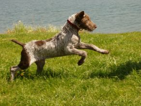 slovakisches-drahthaar-pointer-hund