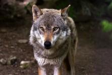 wolf-nahaufnahme