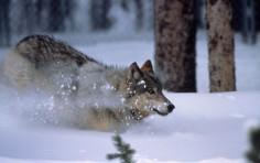 wolf-rennt-im-schnee