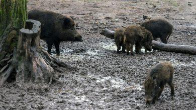 schwarzwild-wildschweine