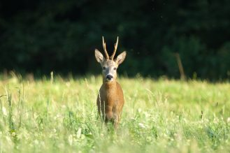 Rumänien Reh, Roe deer, Capreolus capreolus