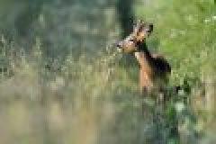 Fragen aus der Jägerprüfung zum Rehwild