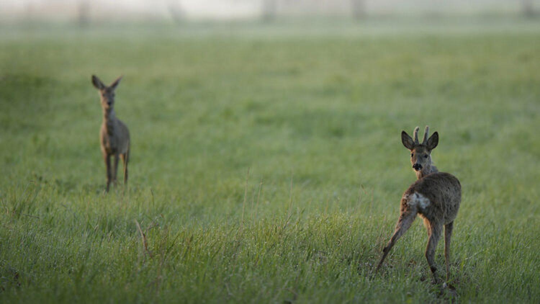Fragen aus der Jägerprüfung zum Rehwild Teil III