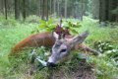 Wildkameras bei der Bockjagd – Jagderfolg dank Fotofalle
