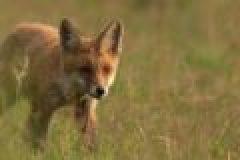 Fragen aus der Jägerprüfung zum Raubwild