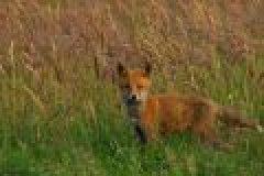 Fuchsjagd: Tipps zur Jungfuchsjagd im Juni