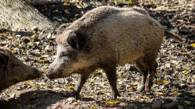 wildschwein-sau-schwarzwild
