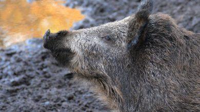 wildschwein-schwarzwild