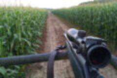 Tipps zur Planung einer Maisdrückjagd im Sommer