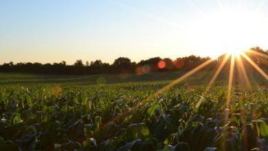 In den letzten Jahren ist ist die Anbaufläche von Mais und Raps stark gewachsen