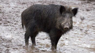 ohne Eingriff von Jägern würde sich die Zahl der Wildschweine von einem zum nächste Jahr erhöhen