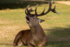 Das Jagdrevier im September – Die Brunft des Rotwildes