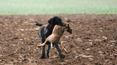 Jagddruck durch Hunde