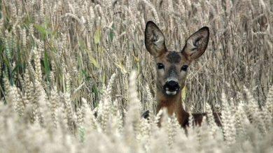 Rehwild im Getreide – Jagddruck macht das Wild scheu