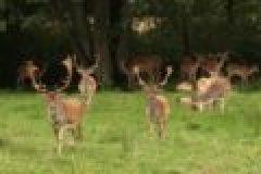 Die Jagd im Herbst: Auf Damwild zur Brunftzeit