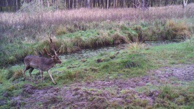 Aufnahme einer Wildkamera: Hirsch
