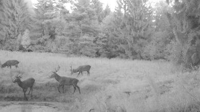 Wildkamera-Aufnahme einer Gruppe von Hirschen