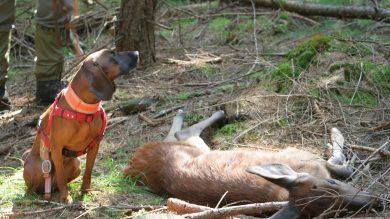 Erfolgreiche Nachsuche mit Jagdhund