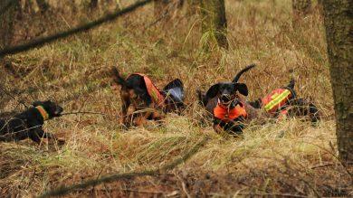 Jagdhunde im Einsatz bei der Drückjagd