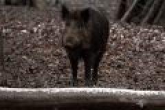 Herausforderung für Jäger: intelligentes Schwarzwild