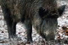 Das Jagdrevier im März: Suhlen Pflegen!
