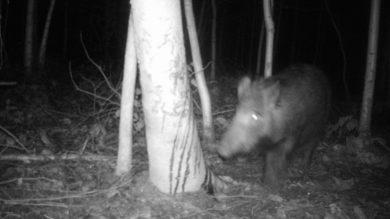 Wildkamera Wildschwein