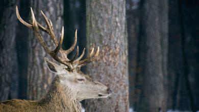 Male deer with antlers in the snowed woods
