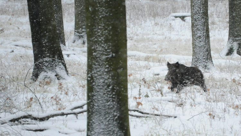 Drückjagd und Nachsuche im Winter – Ein Erfahrungsbericht