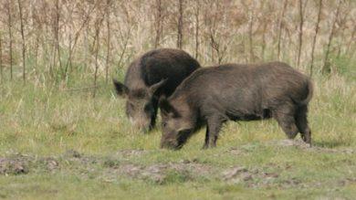 wildschweine auf feld