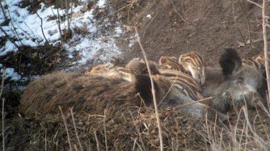 wildschweine mit frischlingen im winter