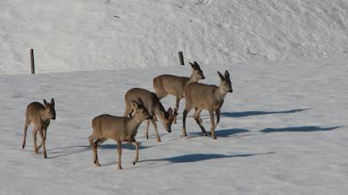 rehwild sprung im winter