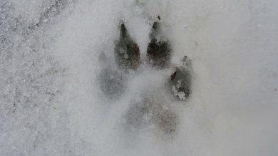 Wolfsspur im Schnee